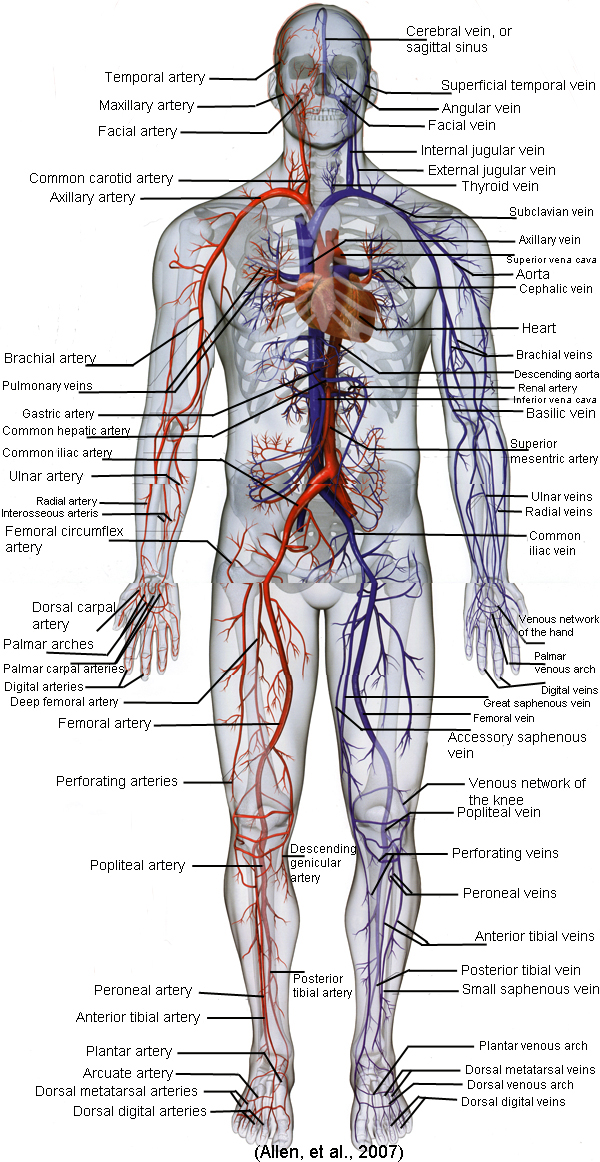 Full body diagram of the cardiovascular system