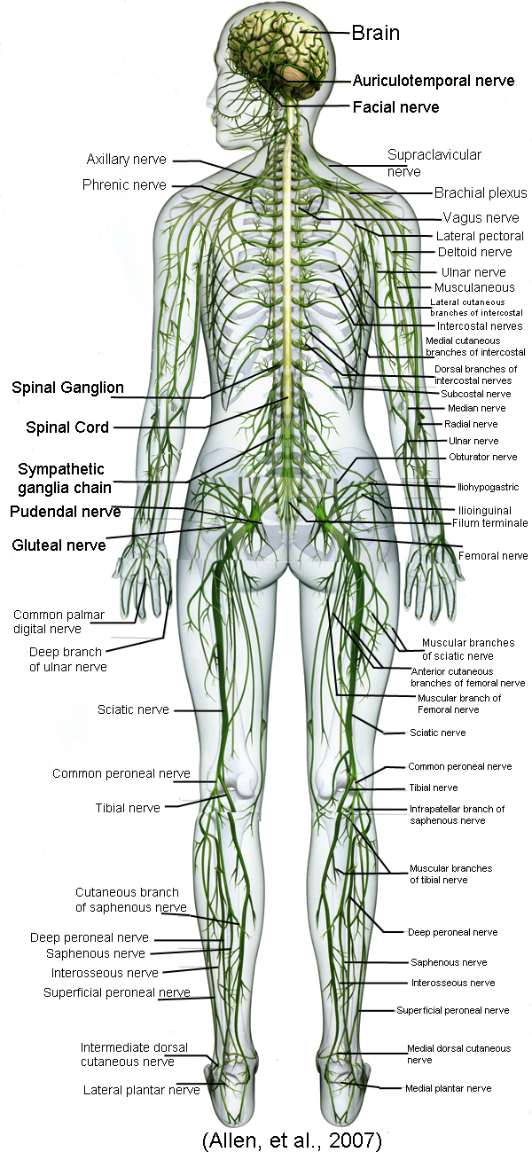 Full body diagram of all nerves